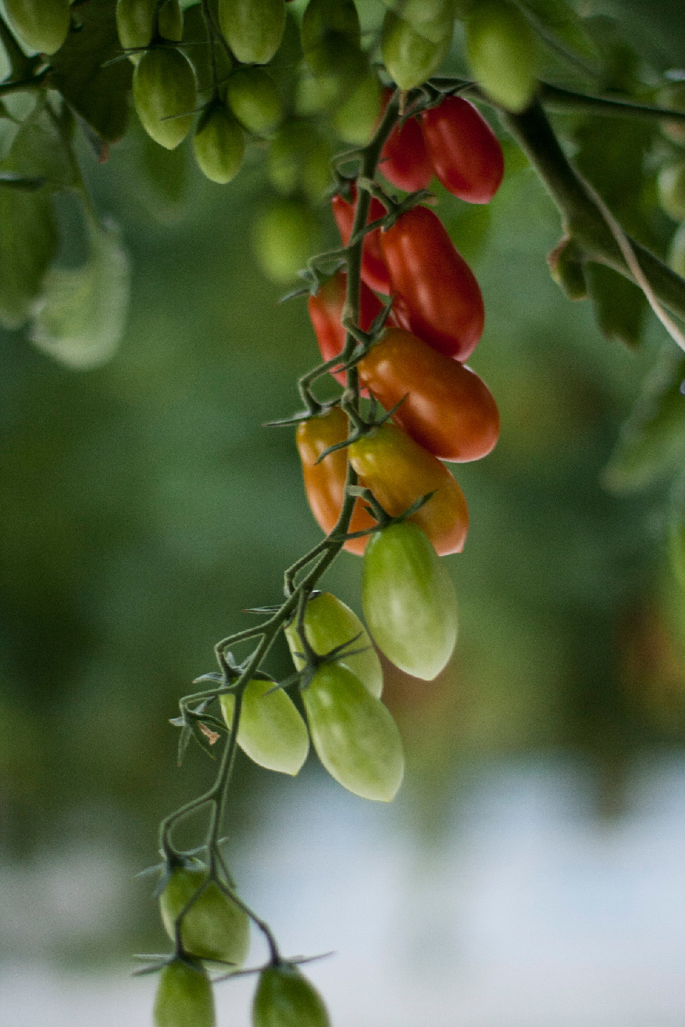 Candy Tomatoes-on-the-vine